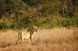 lioness-2801379_1280