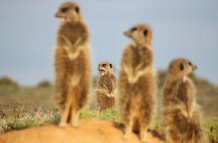 meerkat adventure fb1