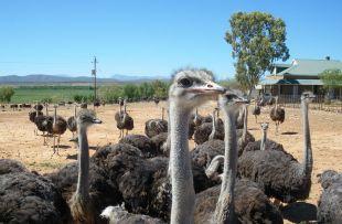ostrich wiki